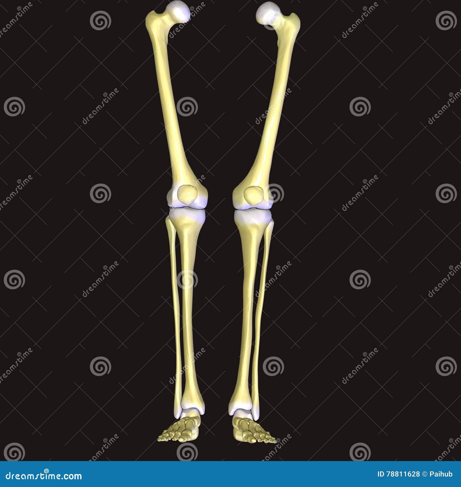 Das Menschliche Bein Ist Die Gesamte Untere Extremität Oder Das ...