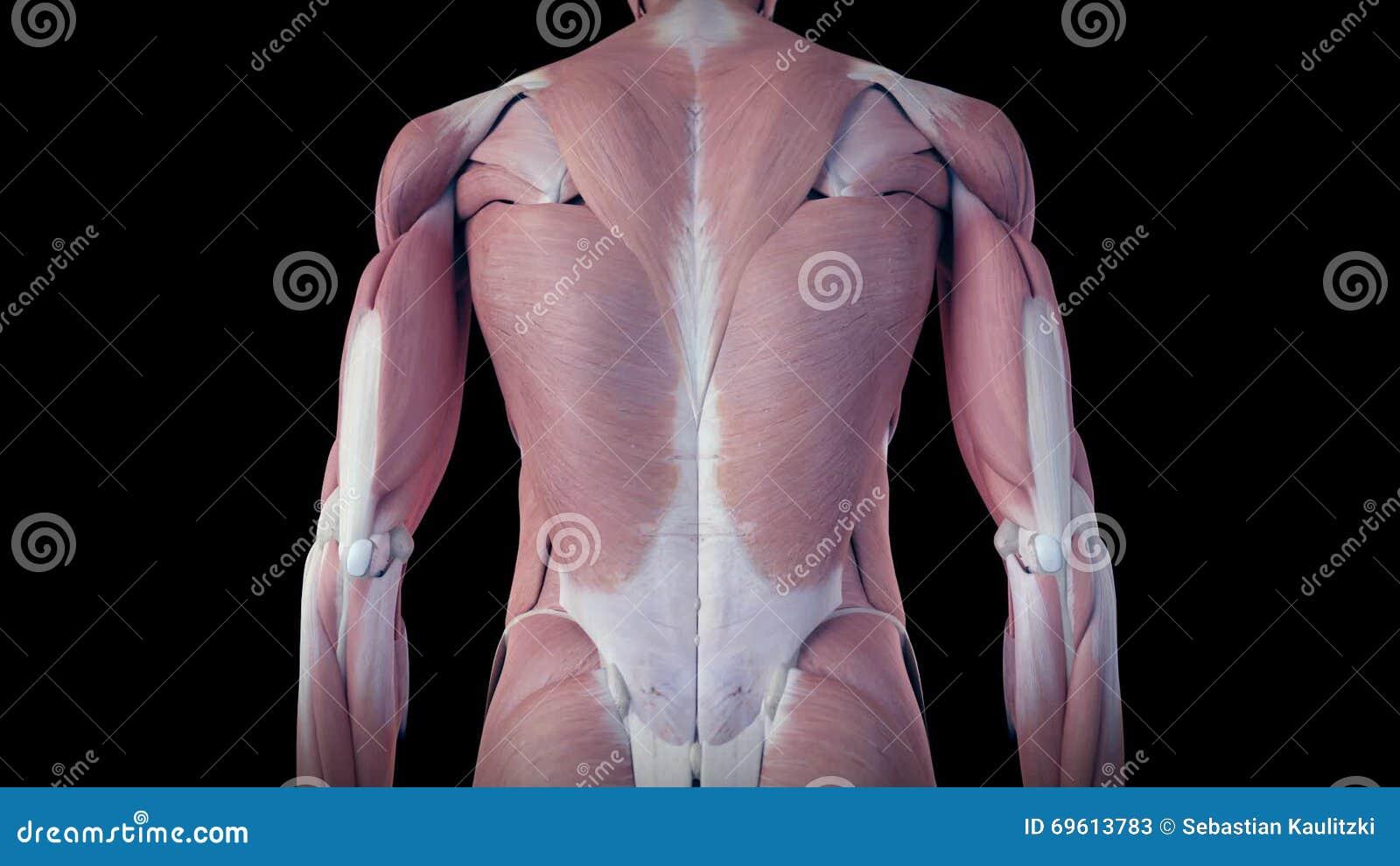 Ziemlich Das Menschliche Muskelsystem Fotos - Menschliche Anatomie ...