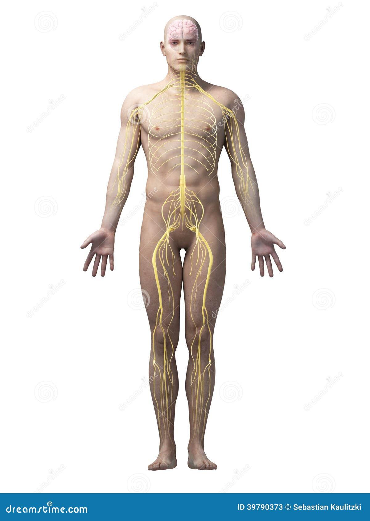 Das Menschliche Nervensystem Stock Abbildung - Illustration von ...
