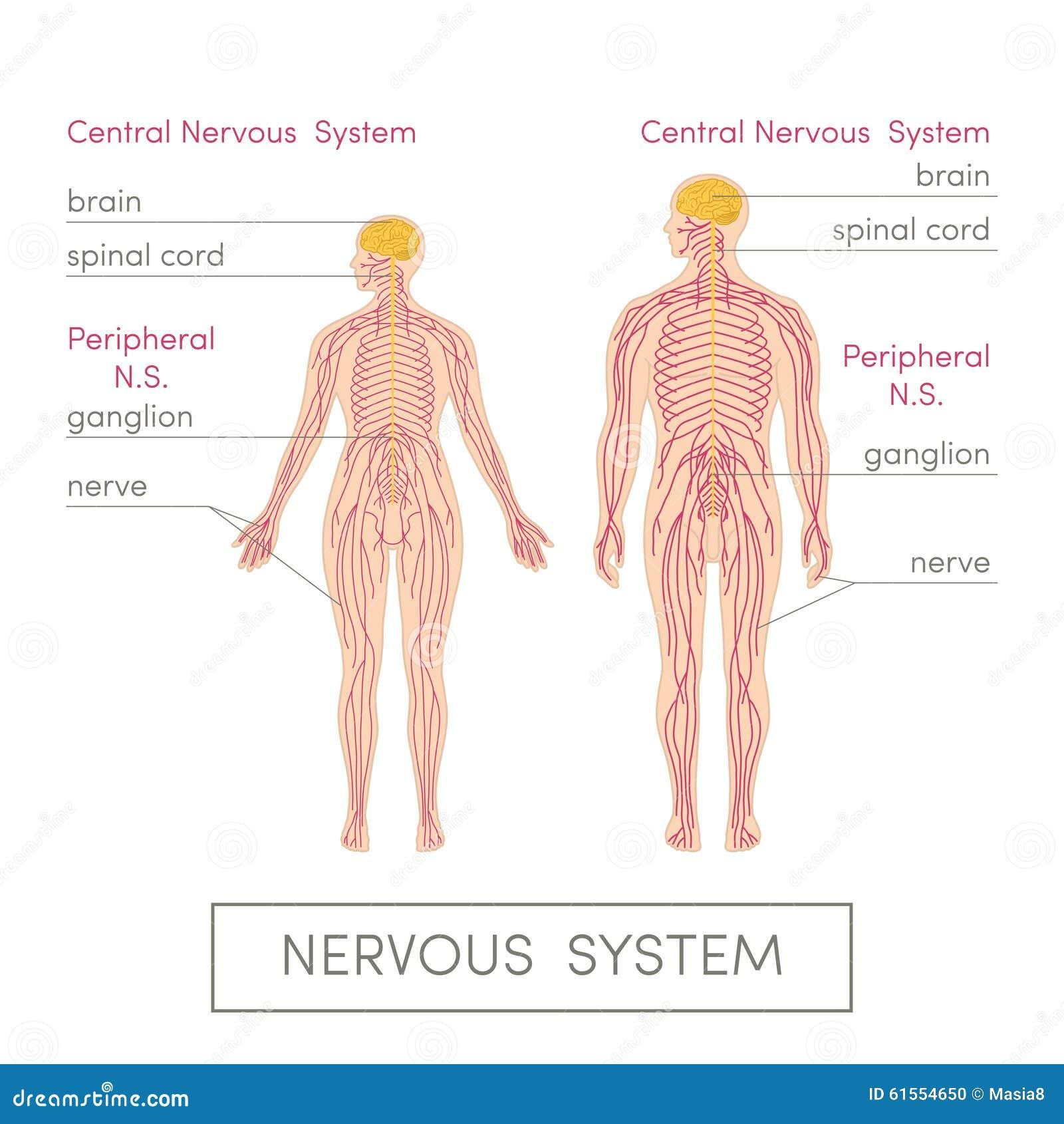 Das Nervensystem stock abbildung. Illustration von anatomisch - 61554650