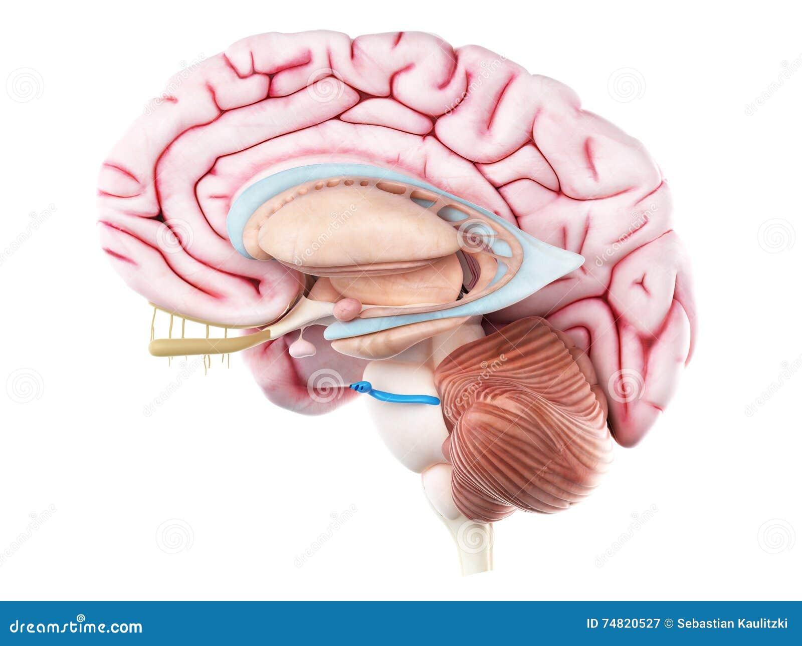 Das Nervus trigeminus stock abbildung. Illustration von biologie ...