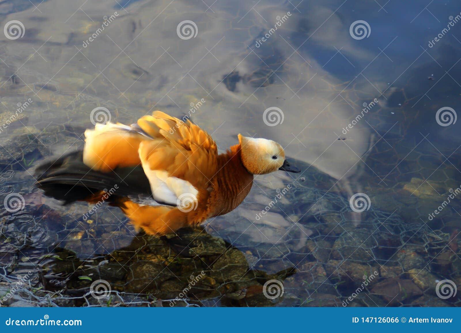 Das r?tliche shelduck auf dem Teich