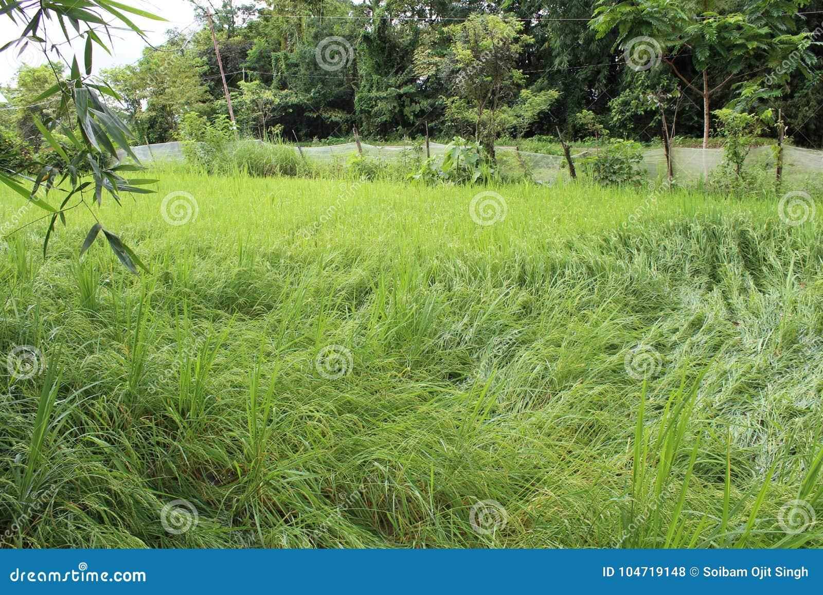 Das Reisfeld von Manipur