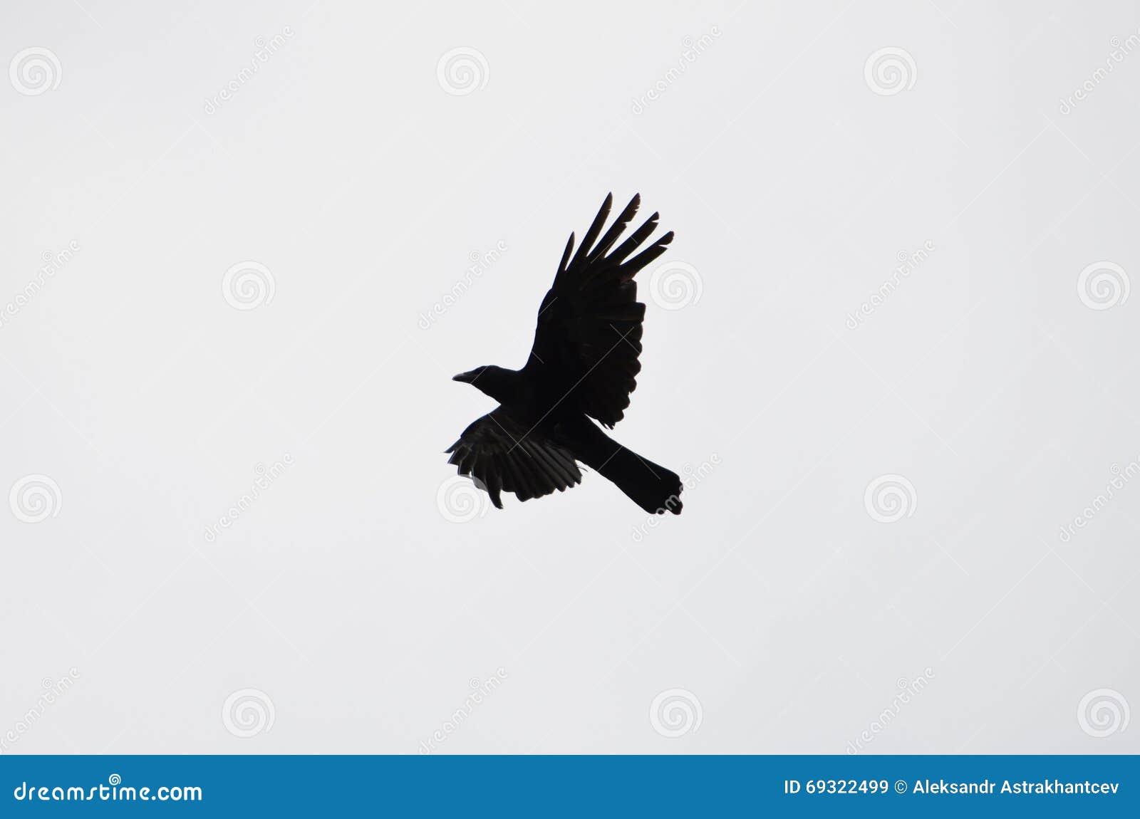 Das Schattenbild einer Fliegenkrähe