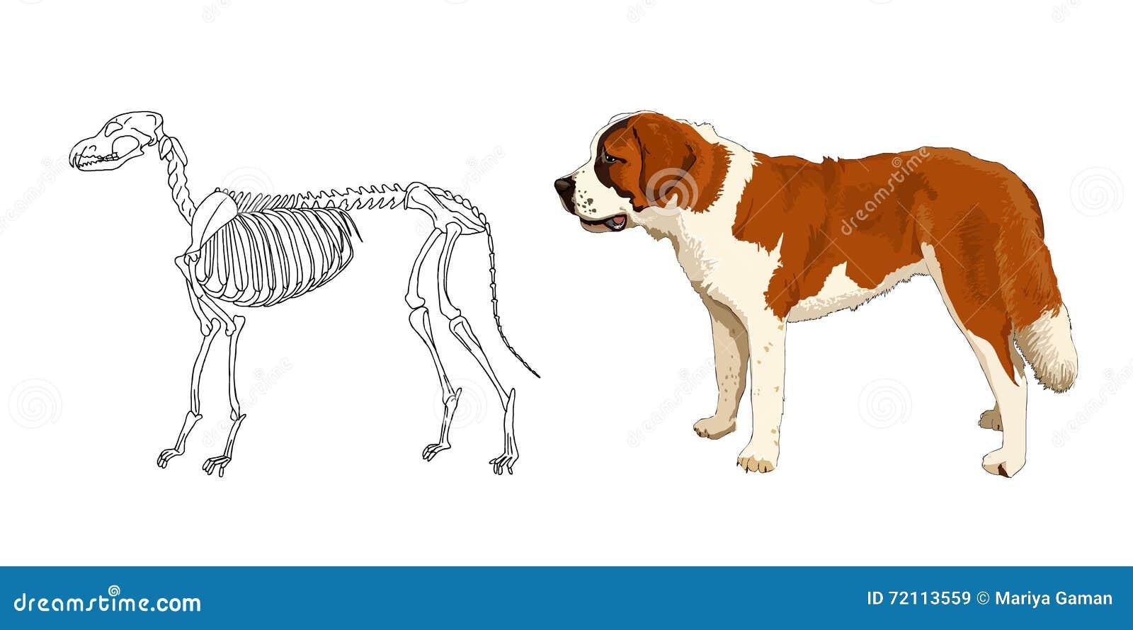 Das Skelett Des Räuberischen Säugetieres St Bernard Die Anatomischen ...