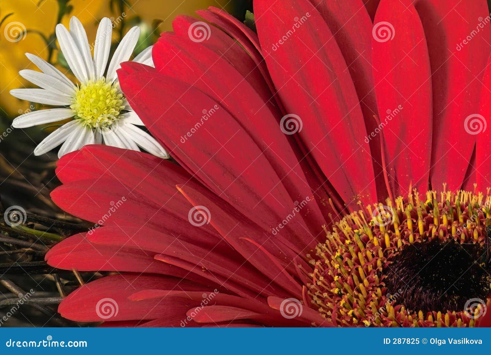 Dasy gardeniared
