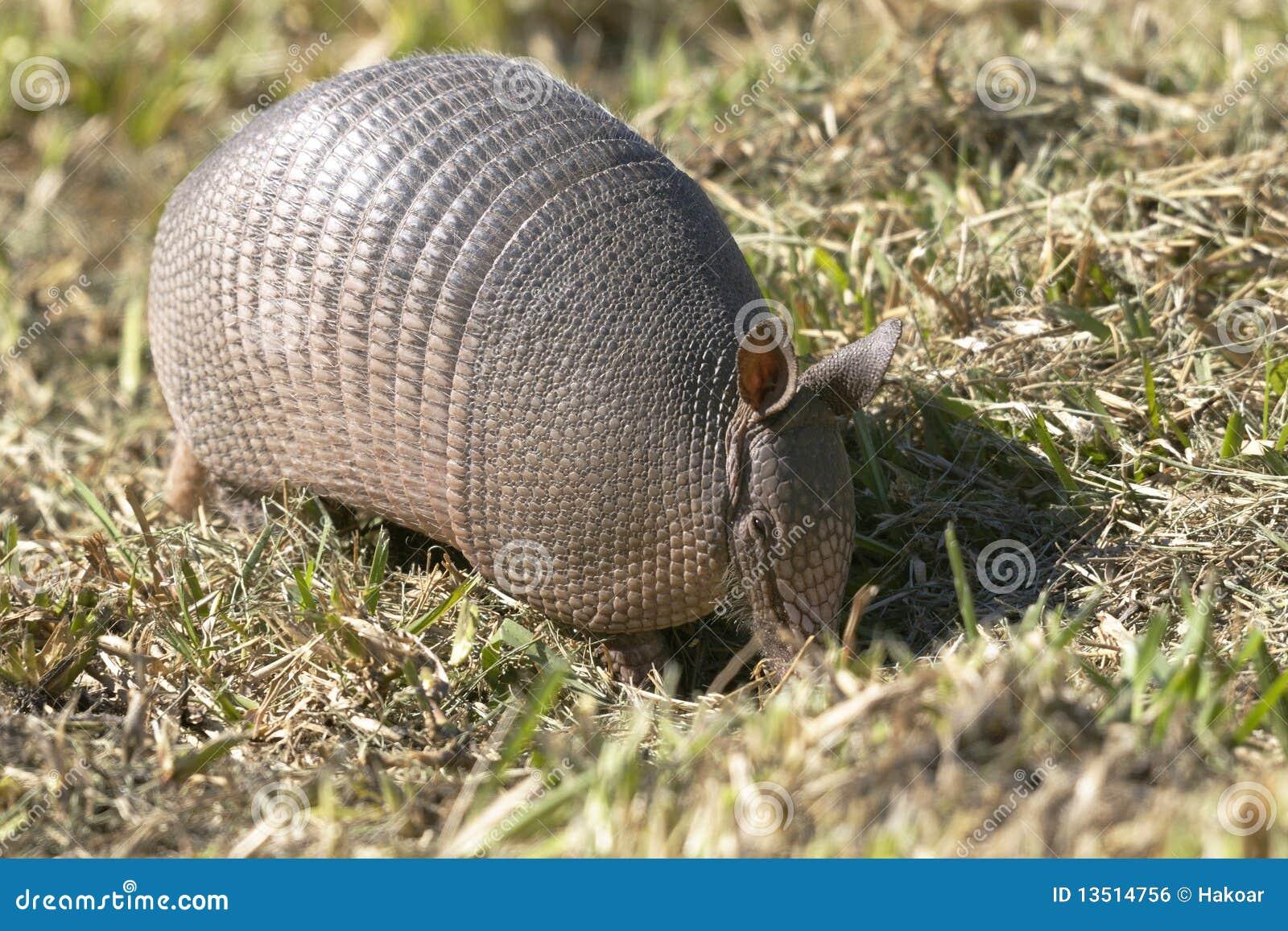 Dasypus novemcinctus, nine-banded armadillo