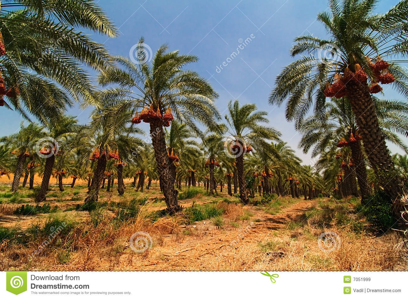 Date palm tree farm stock image Image of bush climate