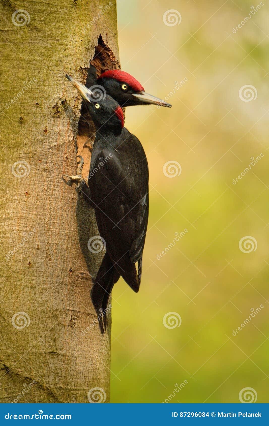 Datel för svart hackspett cerny - den Dryocopus martiusen - svart hackspett