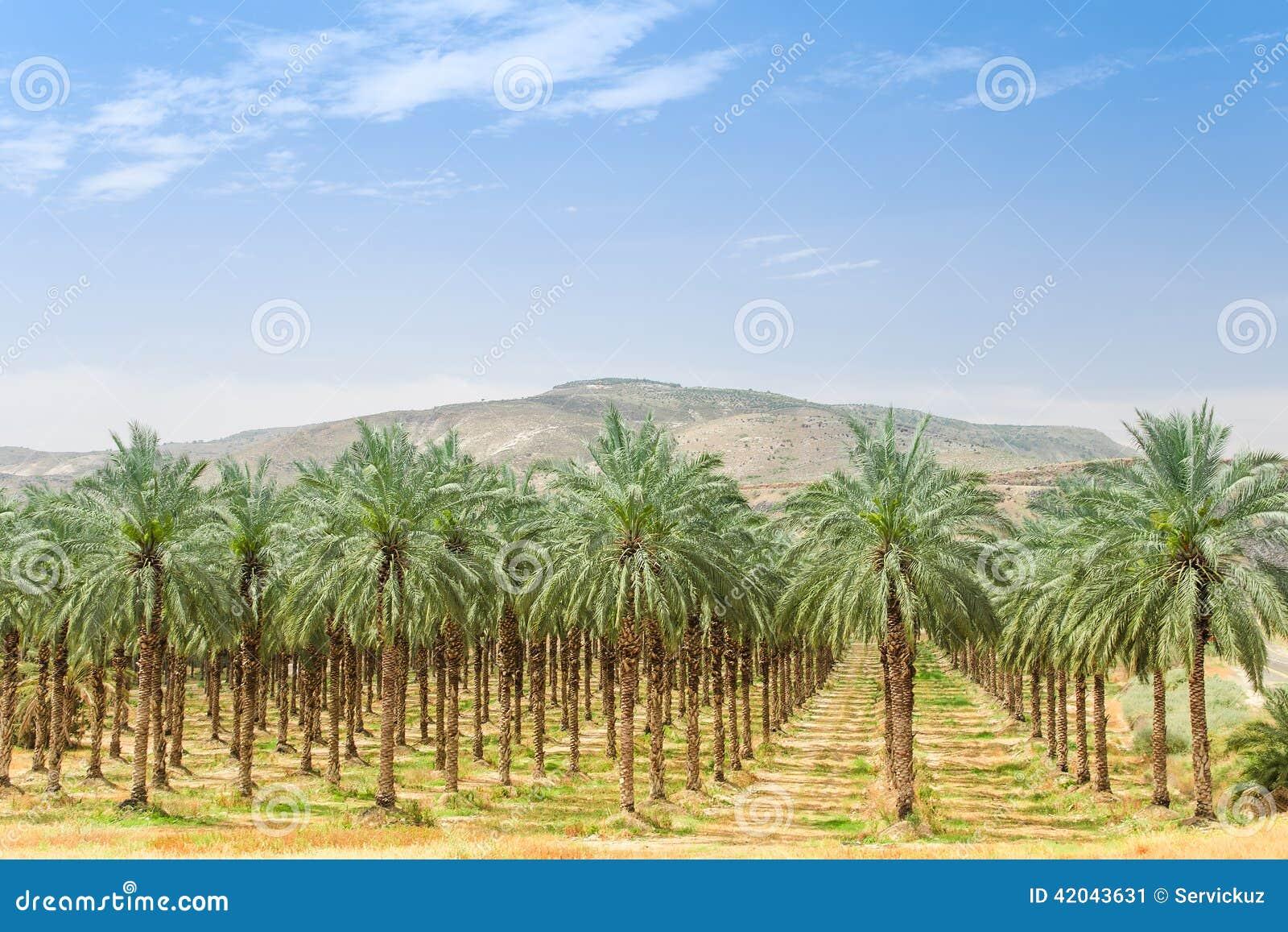 Dattelpalmebäume auf Obstgartenplantage in Galiläa
