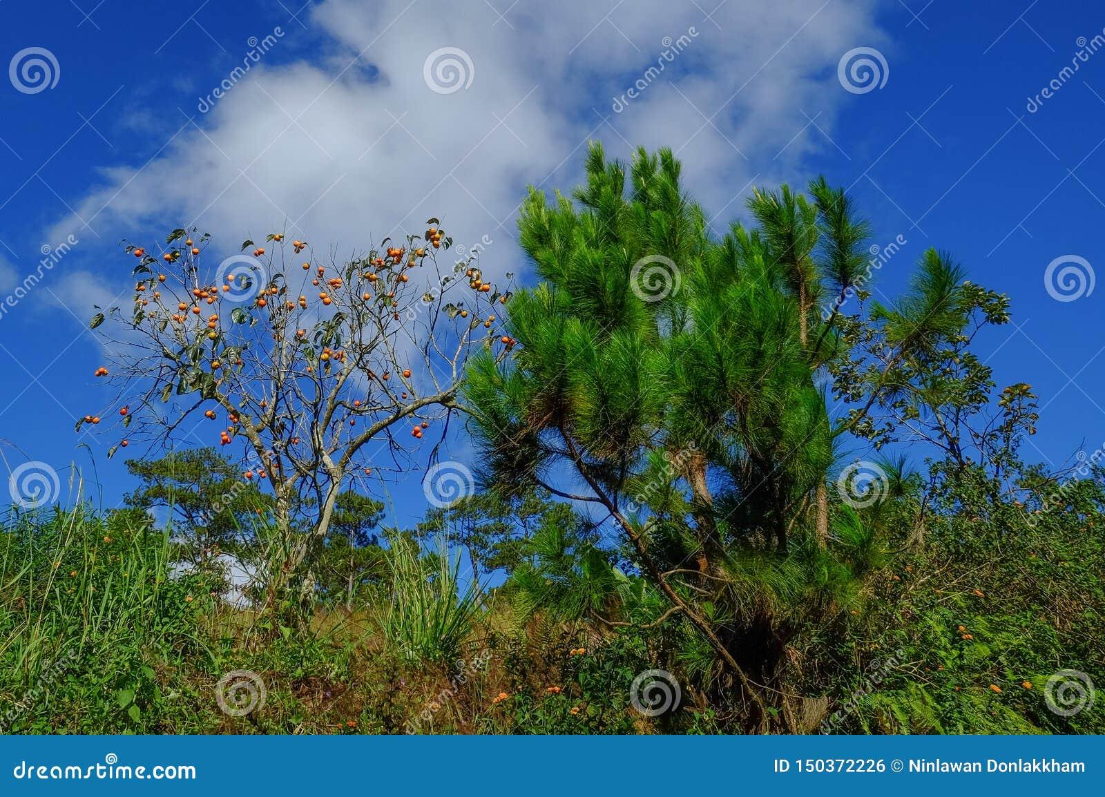 Dattelpflaumebaumkakipflaumenbaum mit Früchten