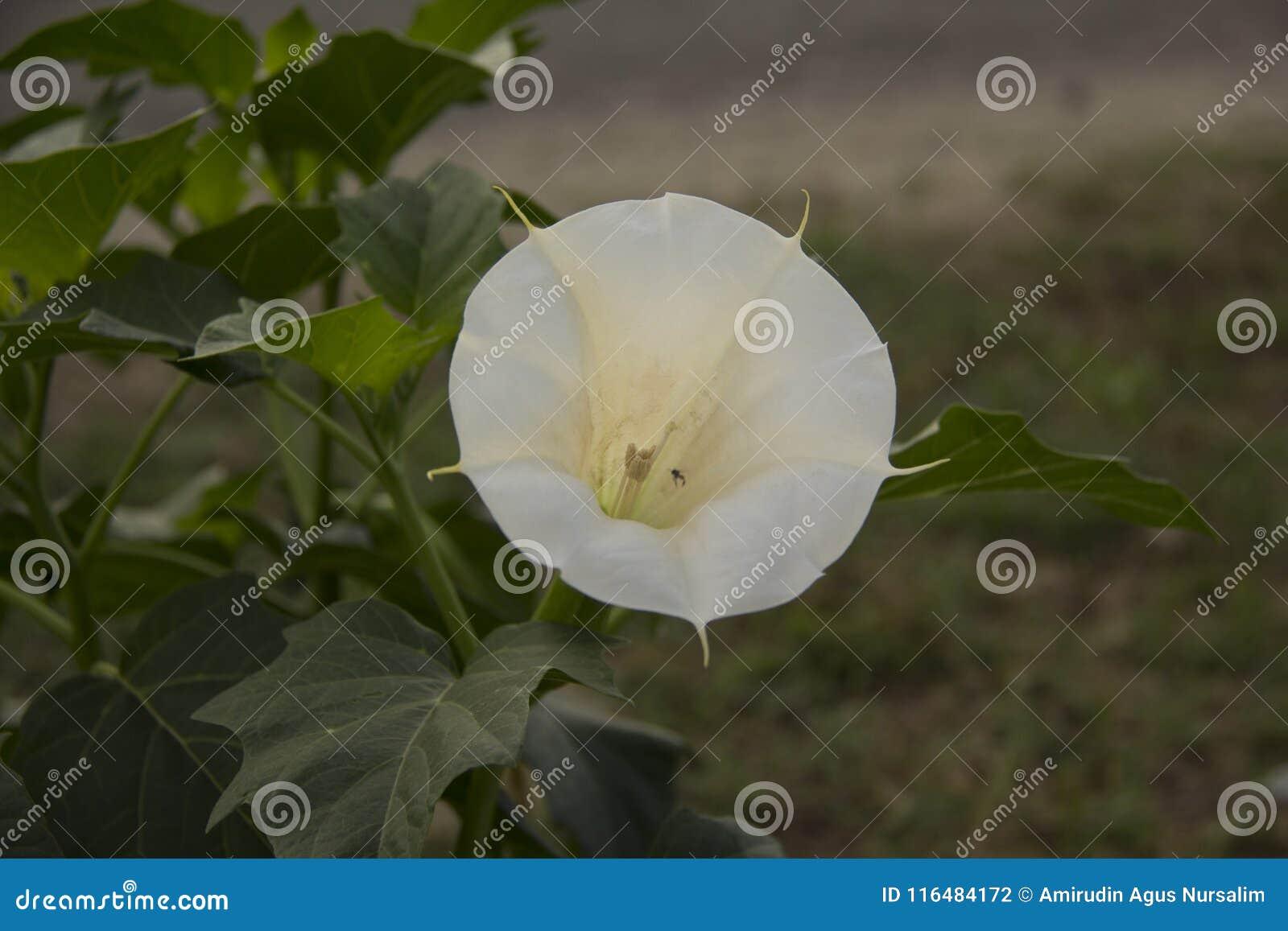 Datura Fiore bianco kecubung