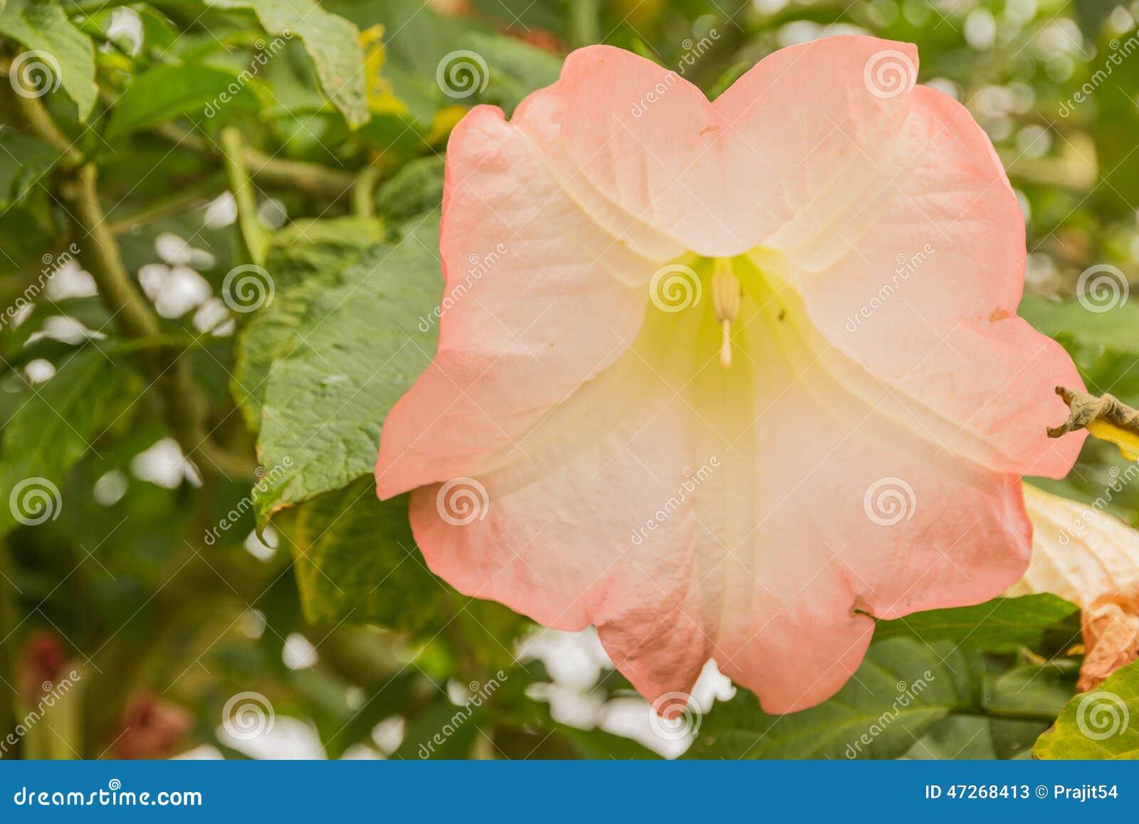 Datura Flower Stock Image Image Of Natural Plant Drug 47268413