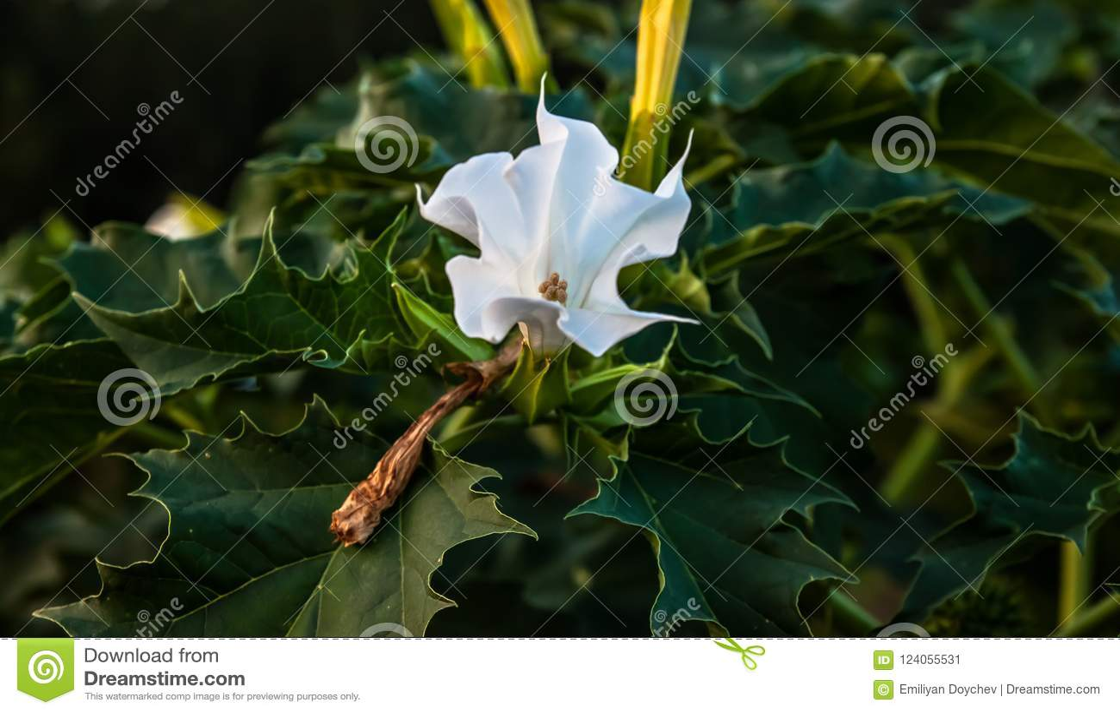 Datura Stramonium Stock Image Image Of Poisonous Nature 124055531