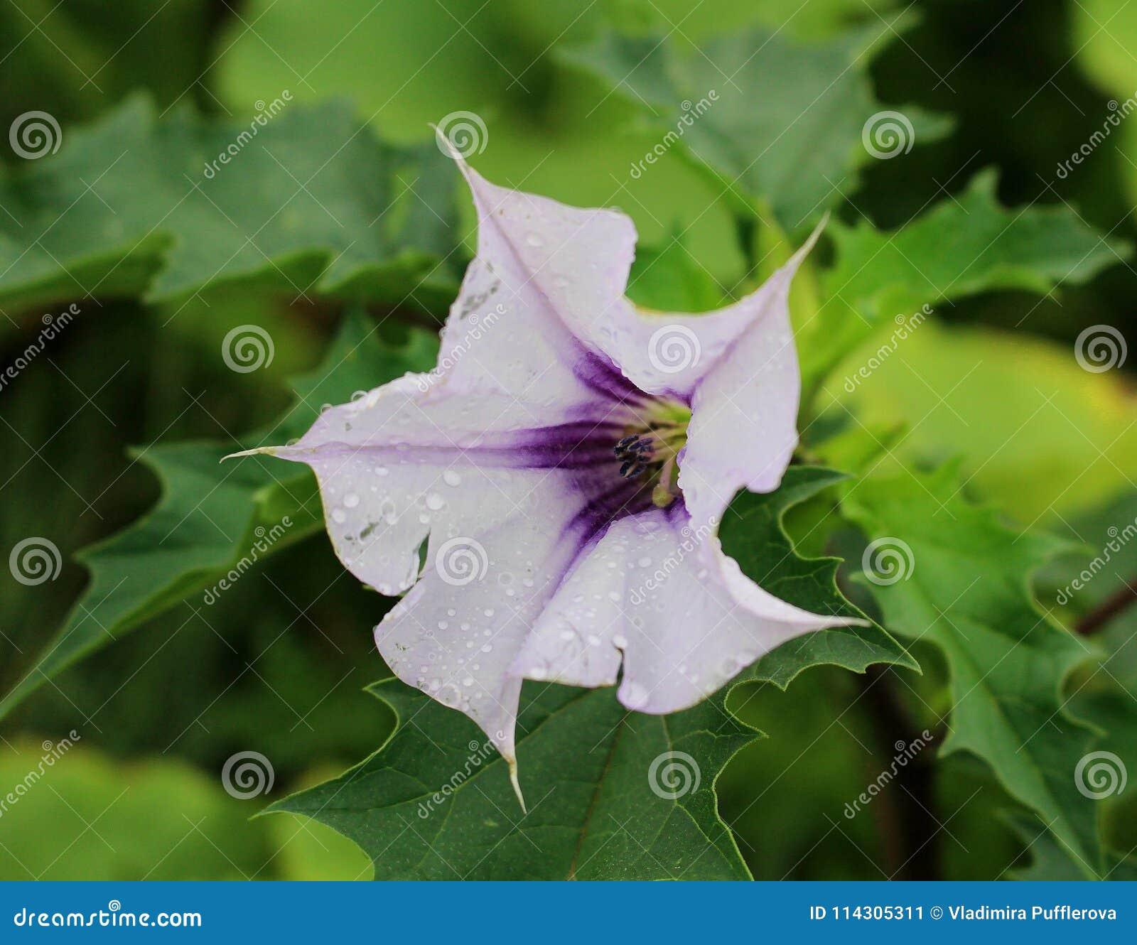 Datura stramonium with white flower dangerous poisonous plant stock datura stramonium with white flower dangerous poisonous plant mightylinksfo
