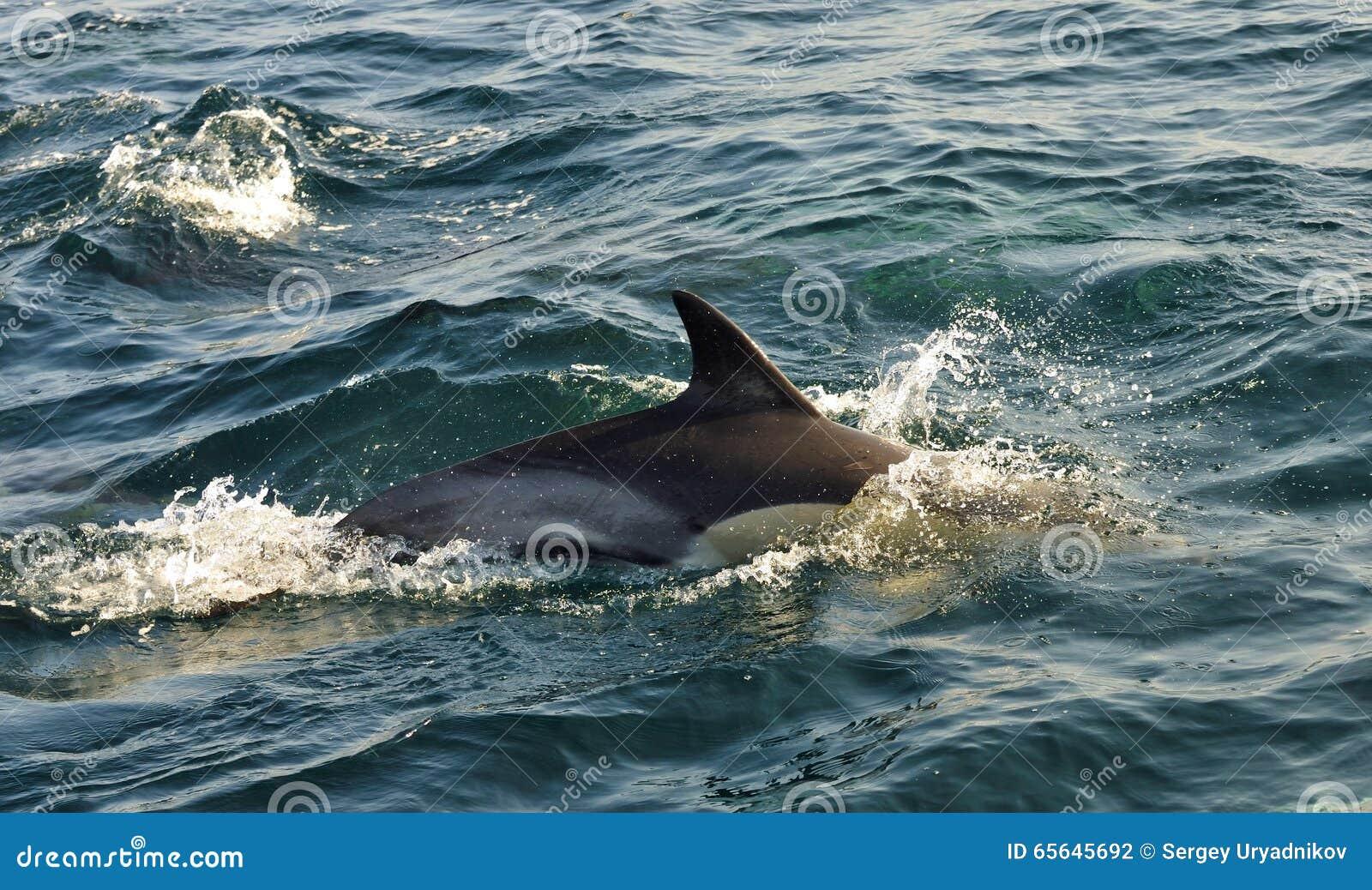 Dauphin, nageant dans l océan et chassant pour des poissons Le jumpi