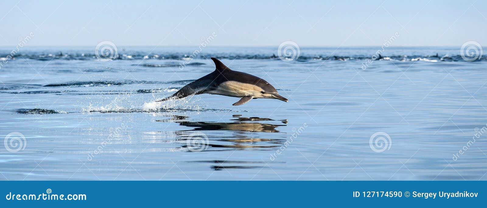 Dauphin sautant dans l océan