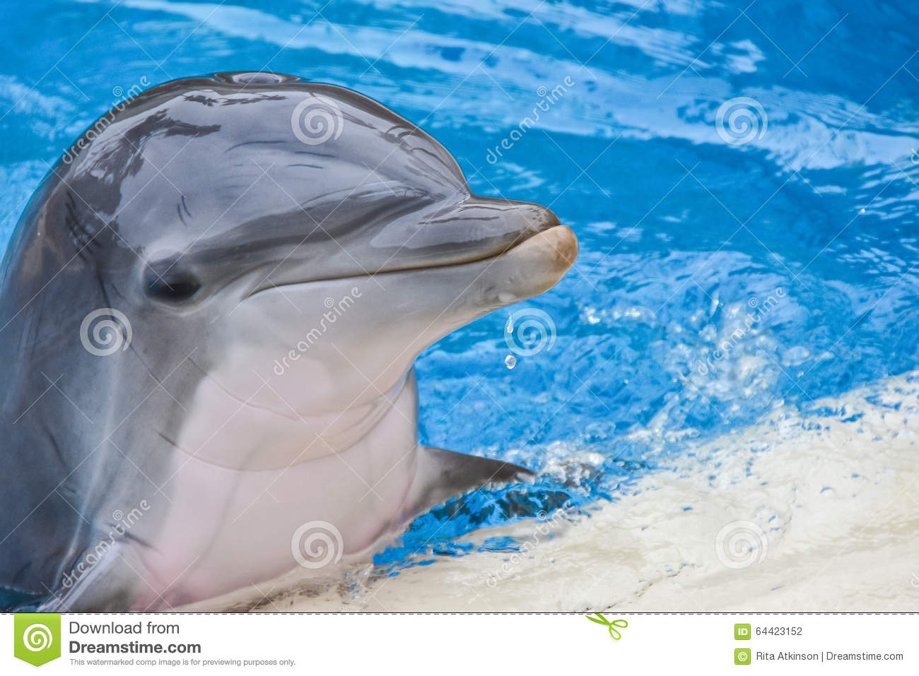 Dauphin souriant en portrait de piscine photo stock for Piscine 3 dauphins