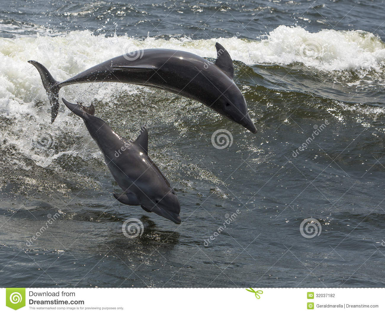 Dauphins de Bottlenose (truncatus de Tursiops)