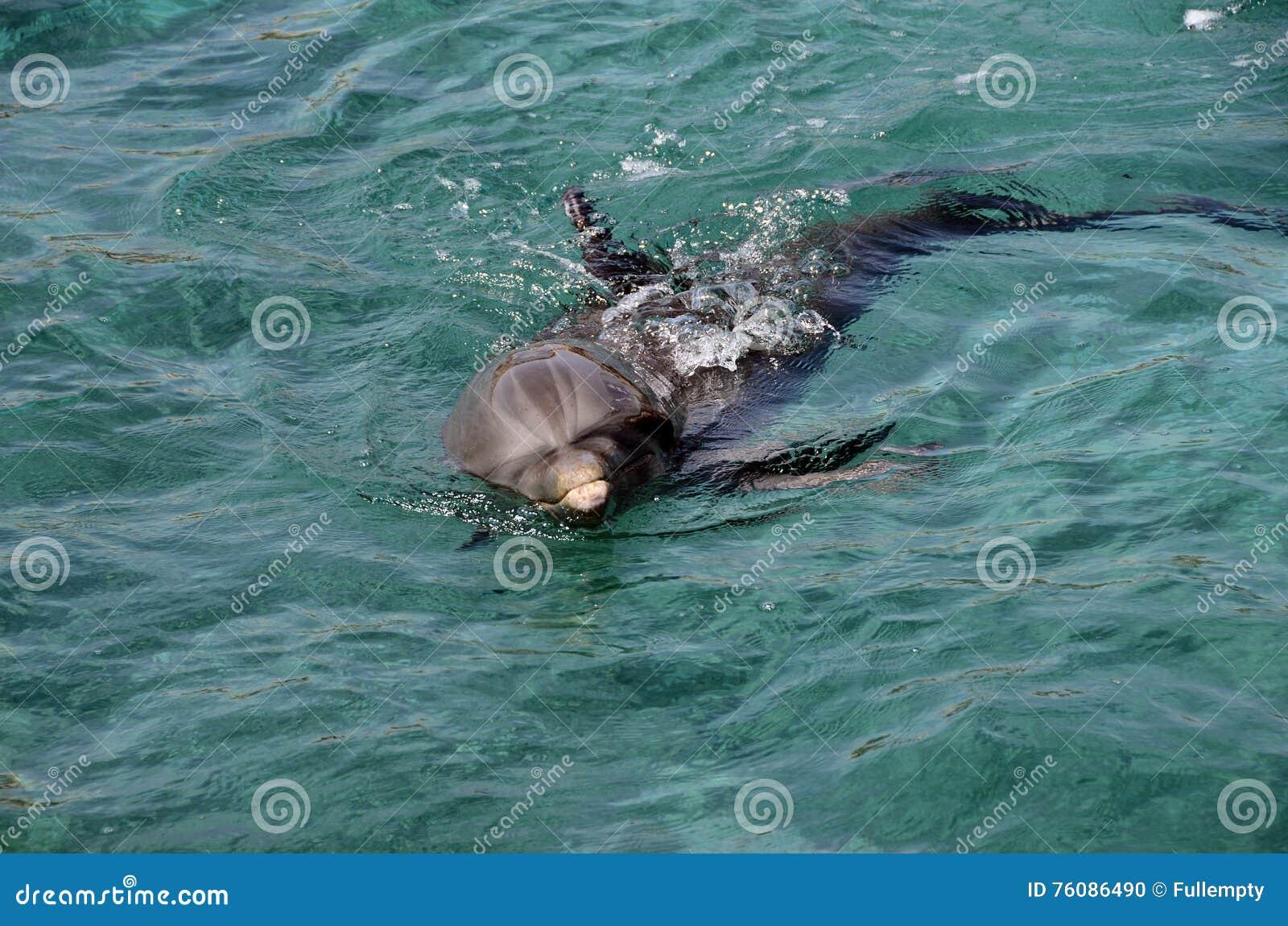 Dauphins en eau de mer des Caraïbes