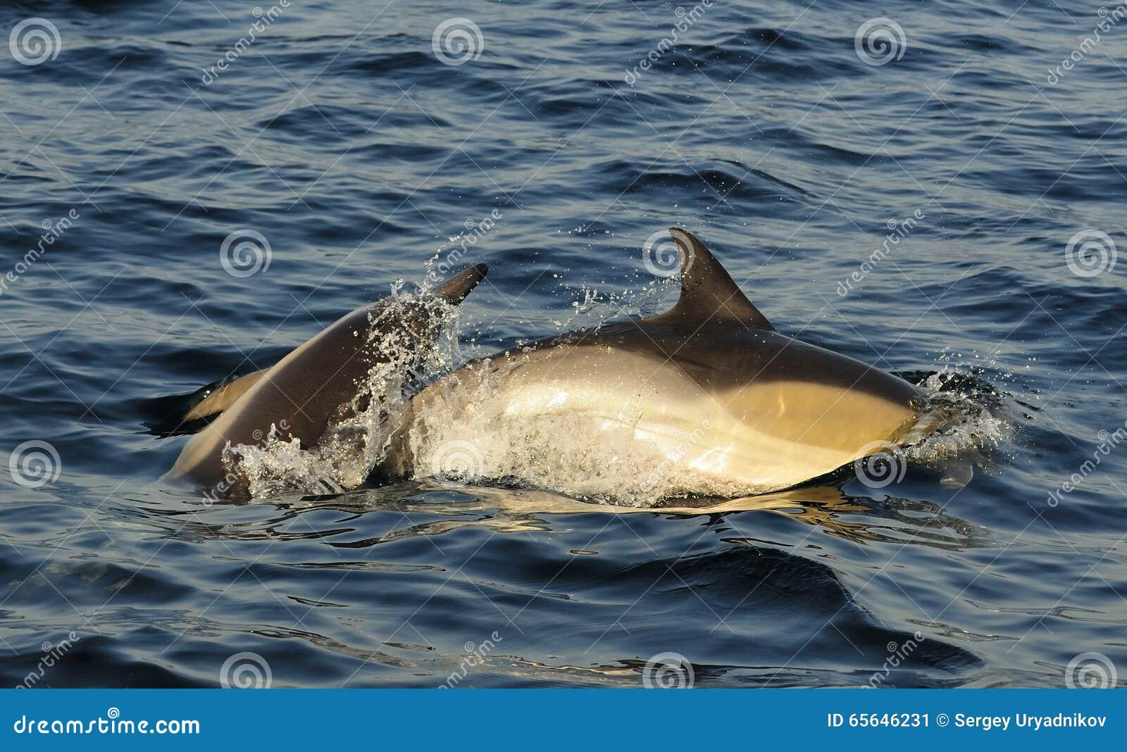 Dauphins, nageant dans l océan et chassant pour des poissons