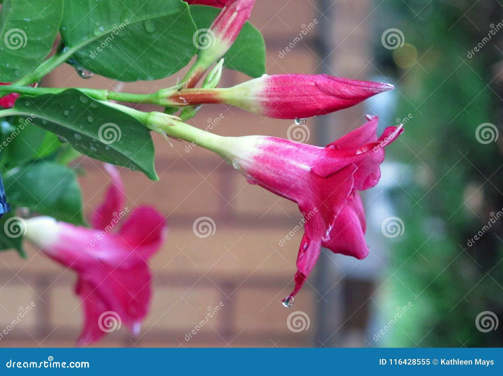 Dauw die van Roze de Lentebloemen druipen na een Stortbui