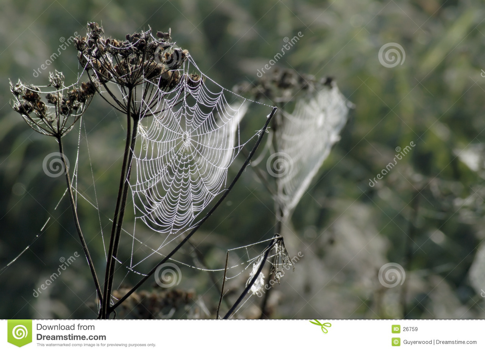Dauw op spinneweb