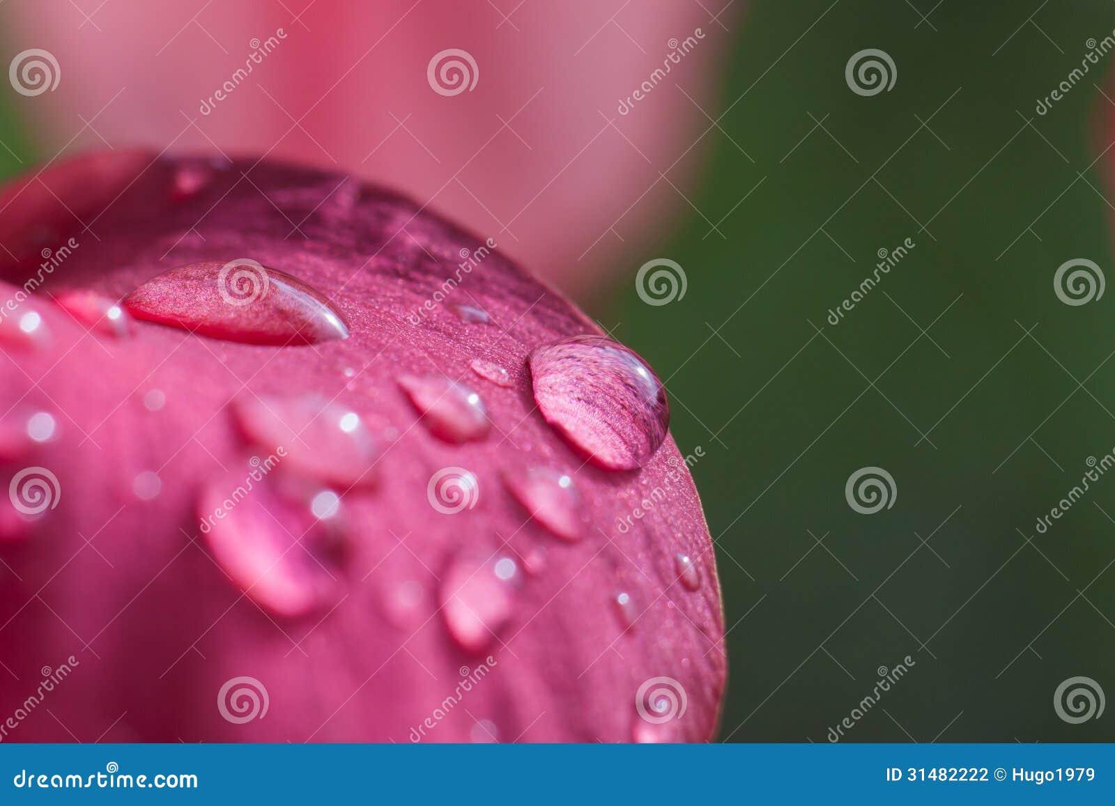 Dauwdaling op roze bloem
