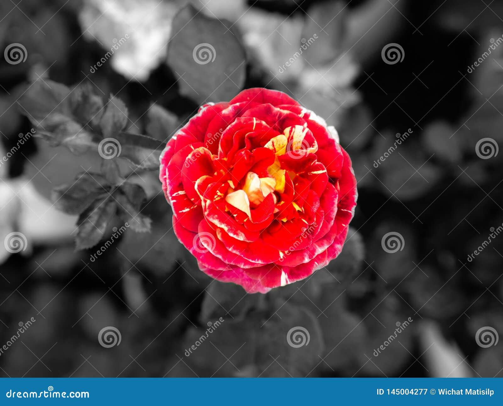 Dauwdalingen op Rode Gele Rose Flower