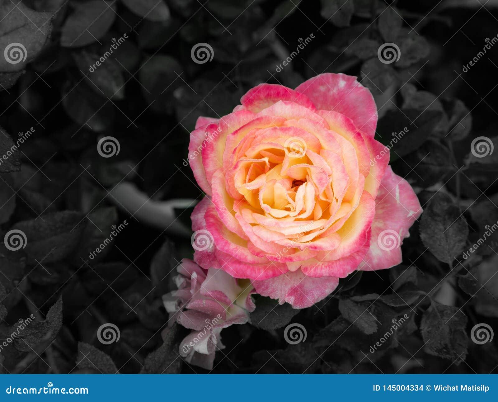 Dauwdalingen op Roze Gele Rose Flower