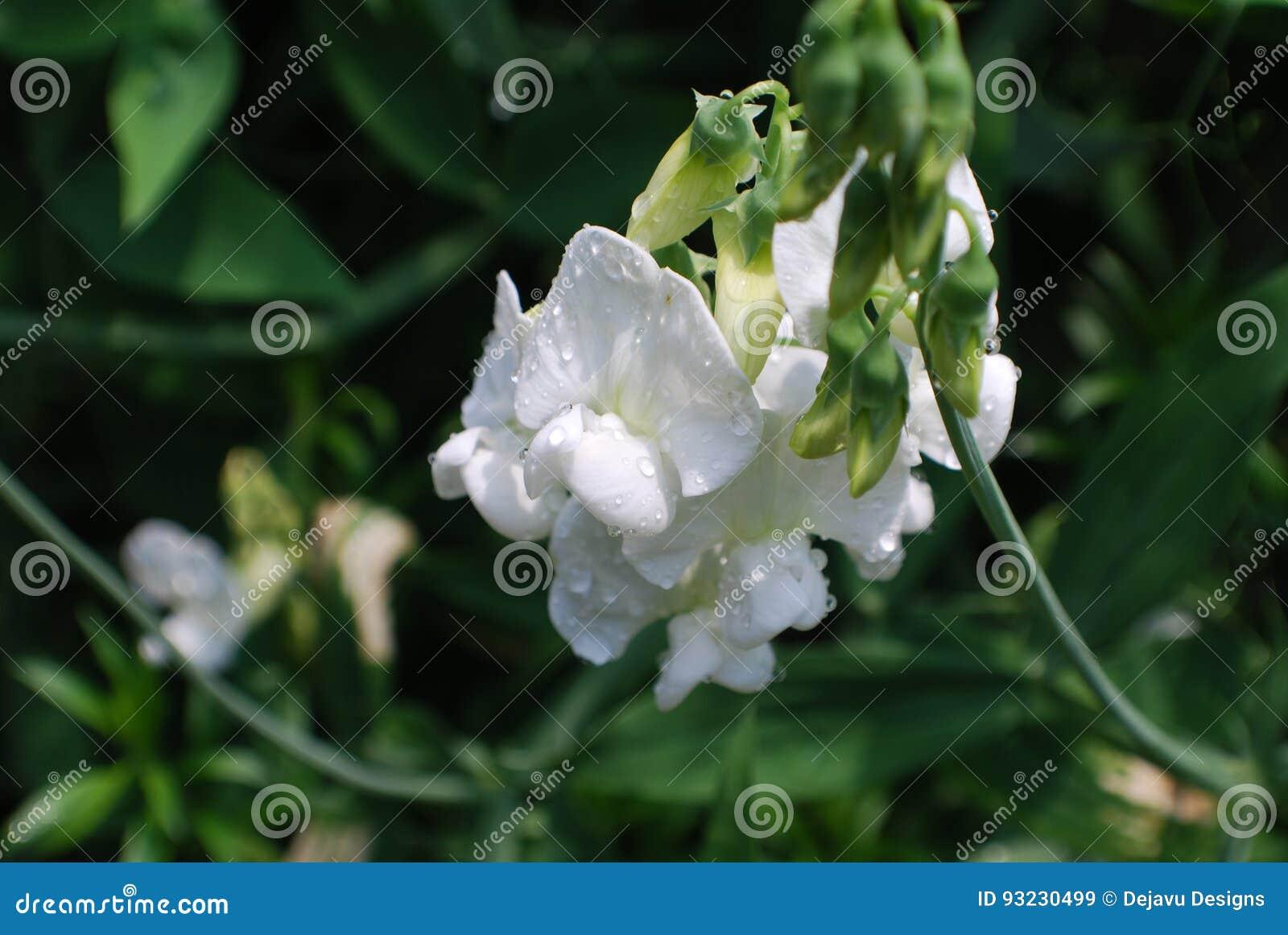 Dauwdalingen op Wit Zoet Pea Flowering Vine