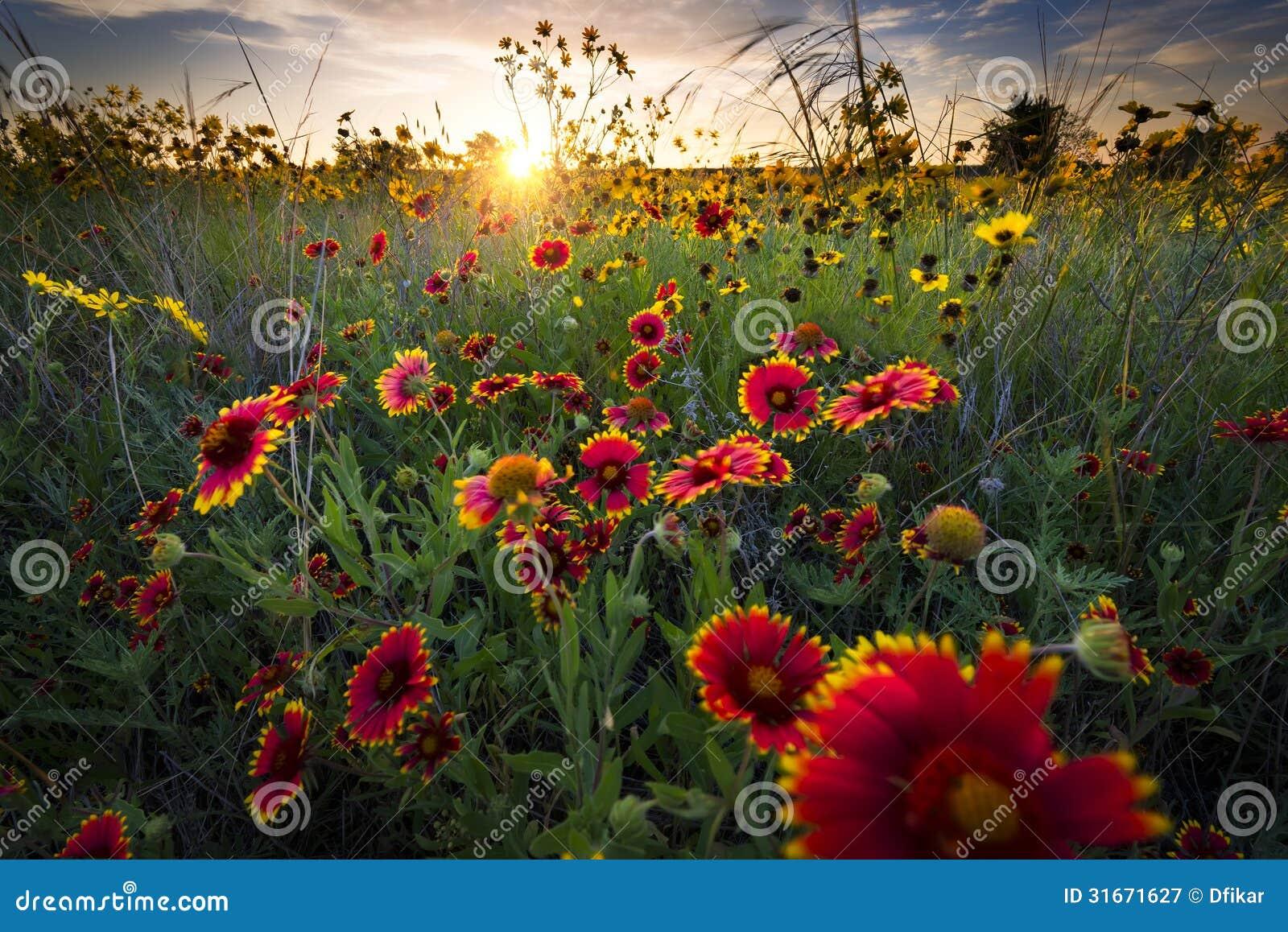 Dawn Over Texas Wildflowers ventoso