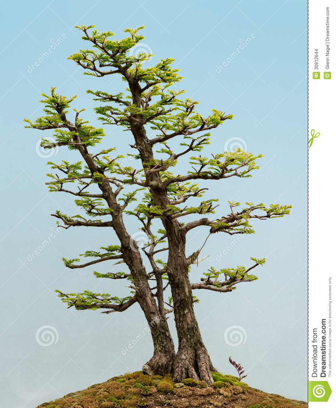 Dawn Redwood Bonsai Stock Photo Image Of Nature Growth 30912644