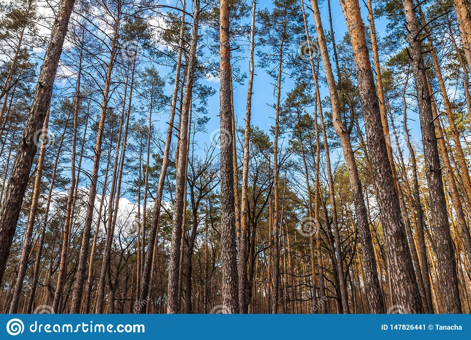 Day Landscape Of Pine Trees In The Spring-summer Forest ...