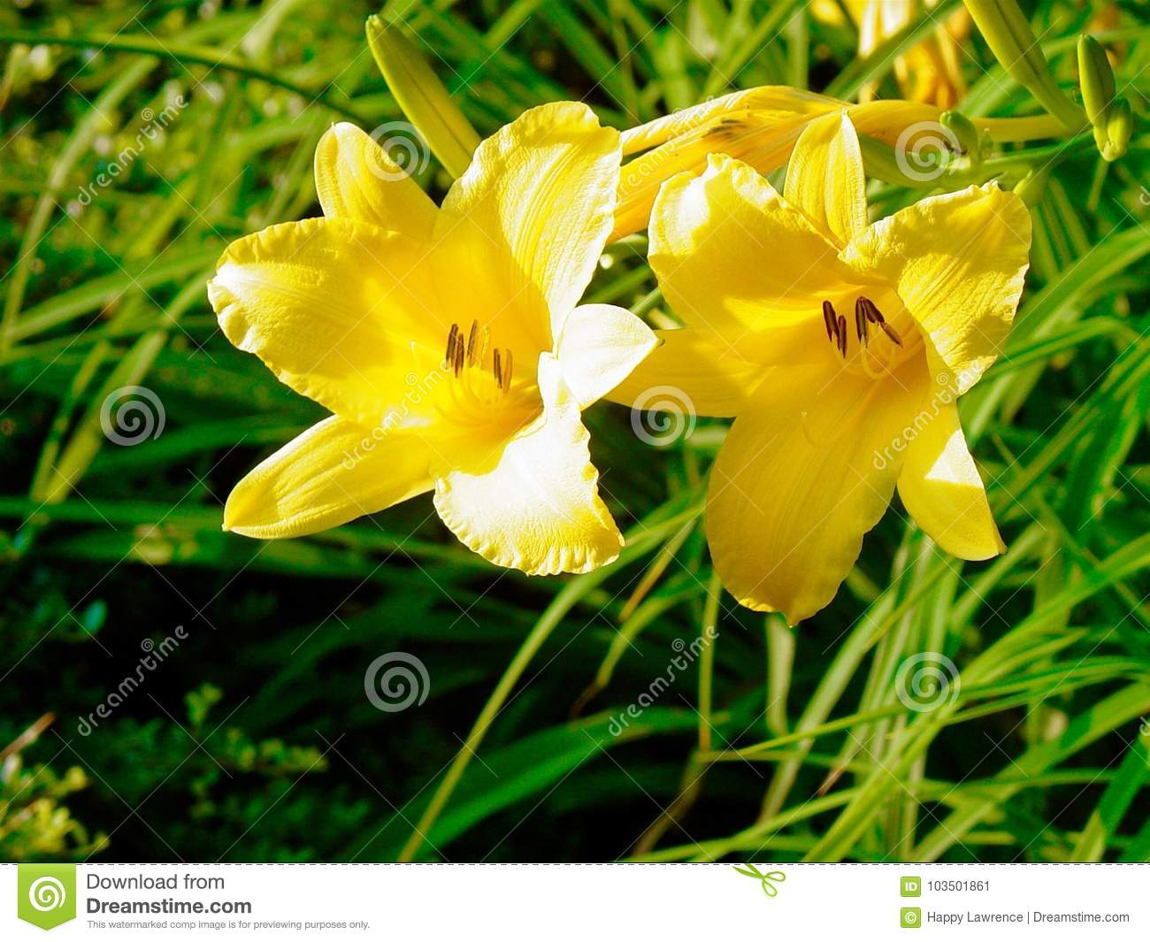 Day Lilies In Spring Stock Image Image Of Spring North 103501861