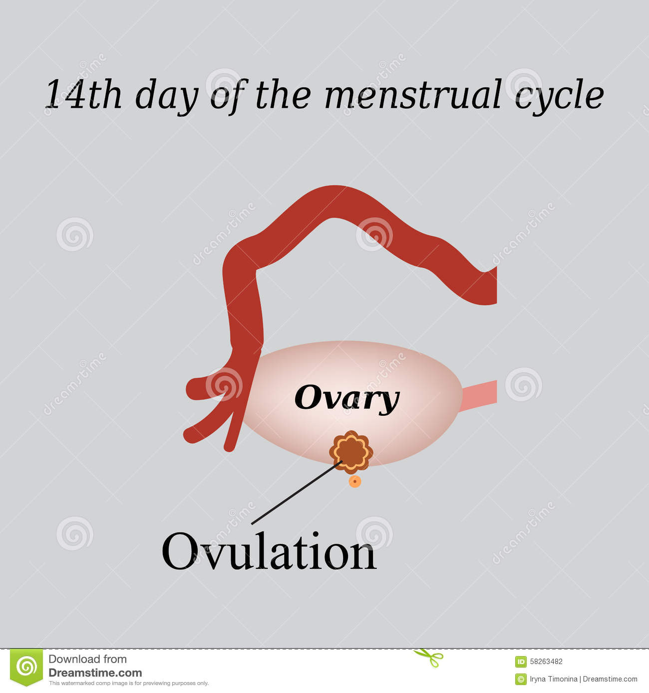 14 Day Of The Menstrual Cycle - Ovulation. Vector Stock ...