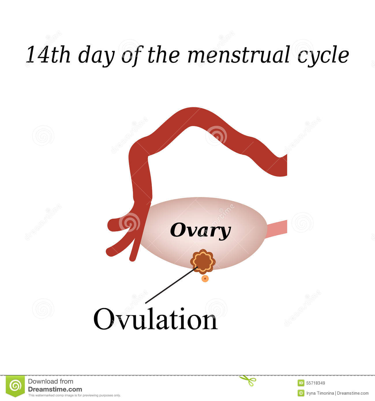 14 day of the menstrual cycle - ovulation. Vector