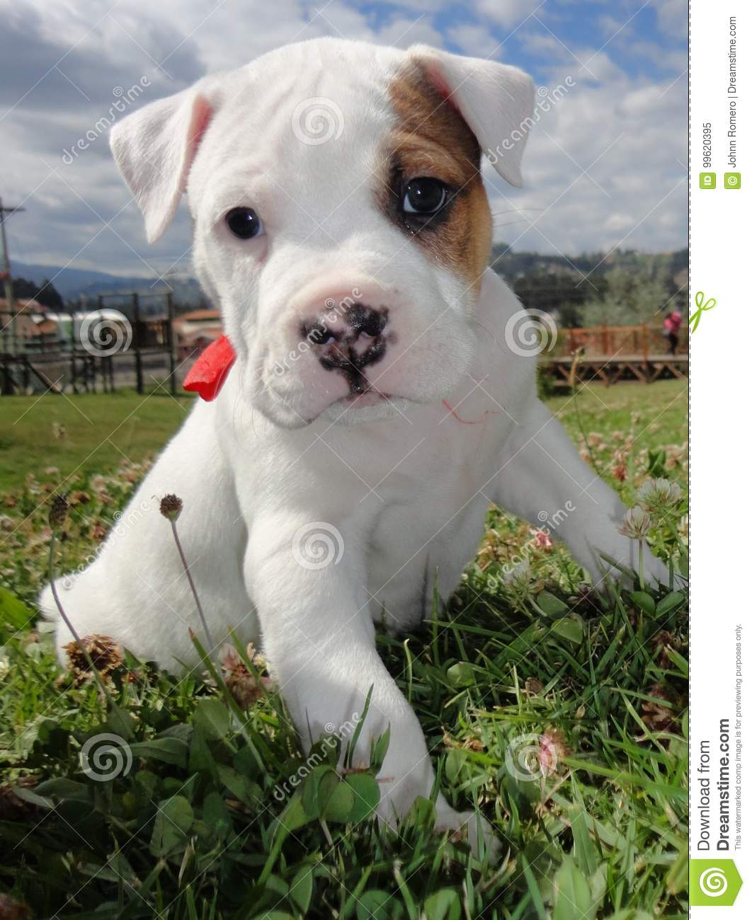 Dogo Argentino Puppy stock image  Image of terrier, puppy - 99620395