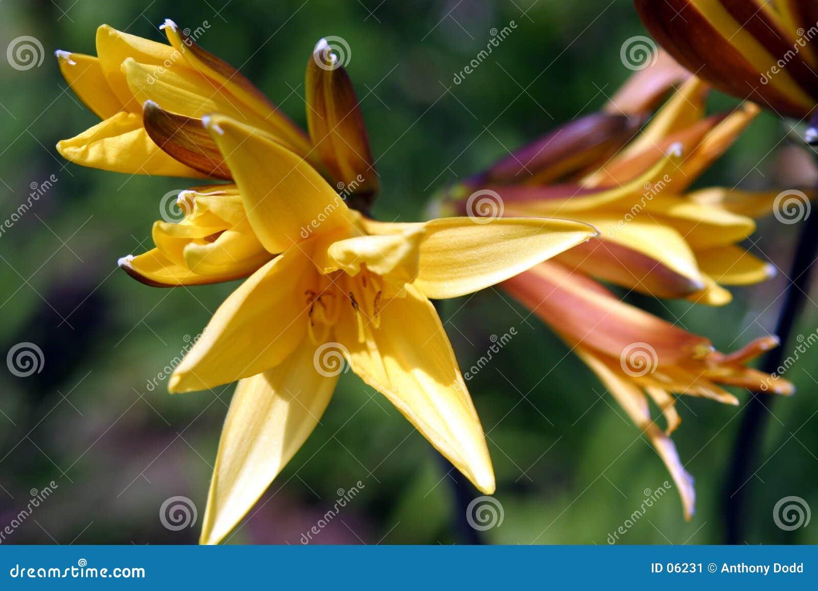Daylilies żółte