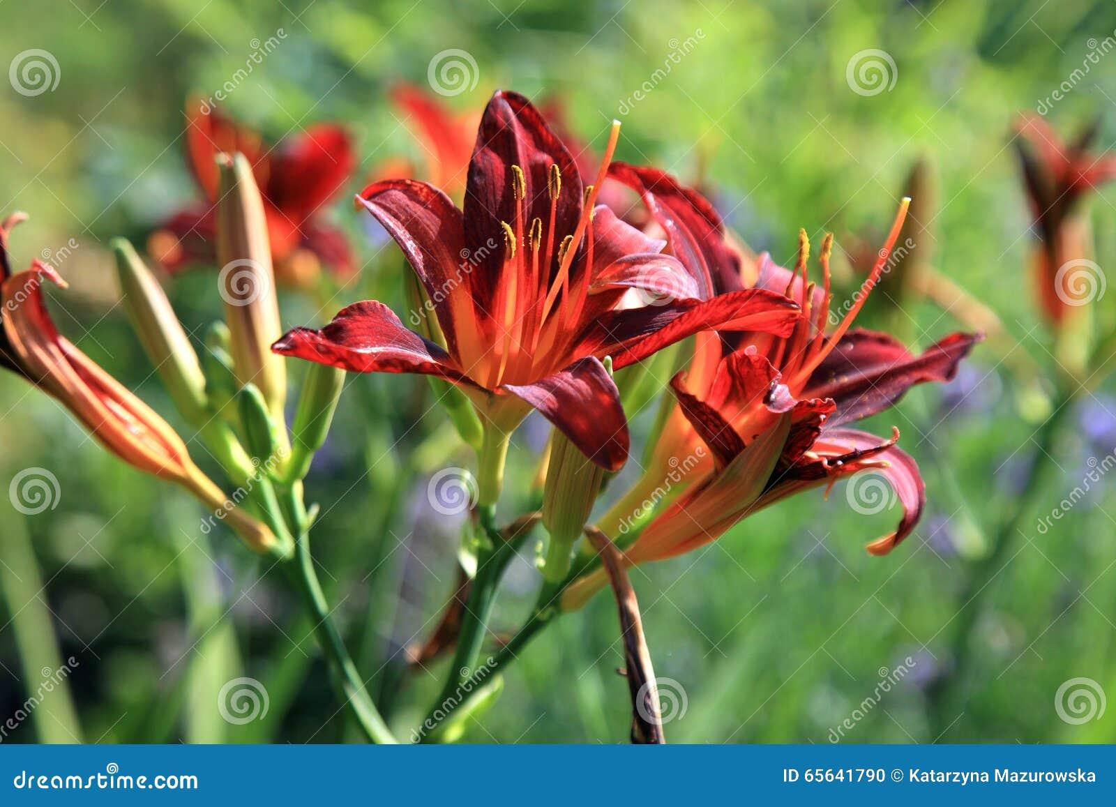 Daylilies de floraison - Hemerocallis
