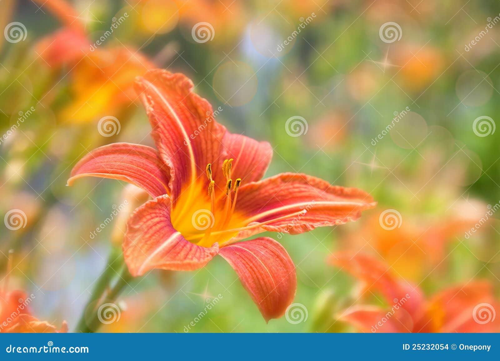 Daylily桔子