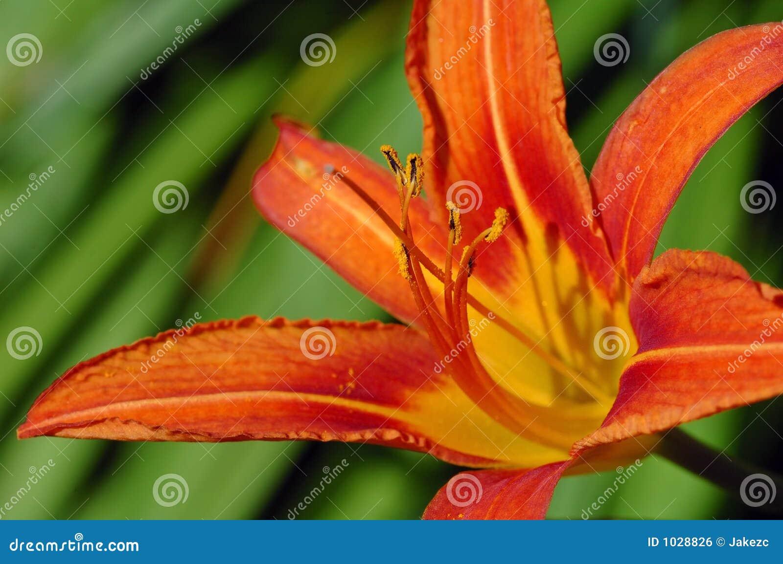 Daylily πορτοκάλι