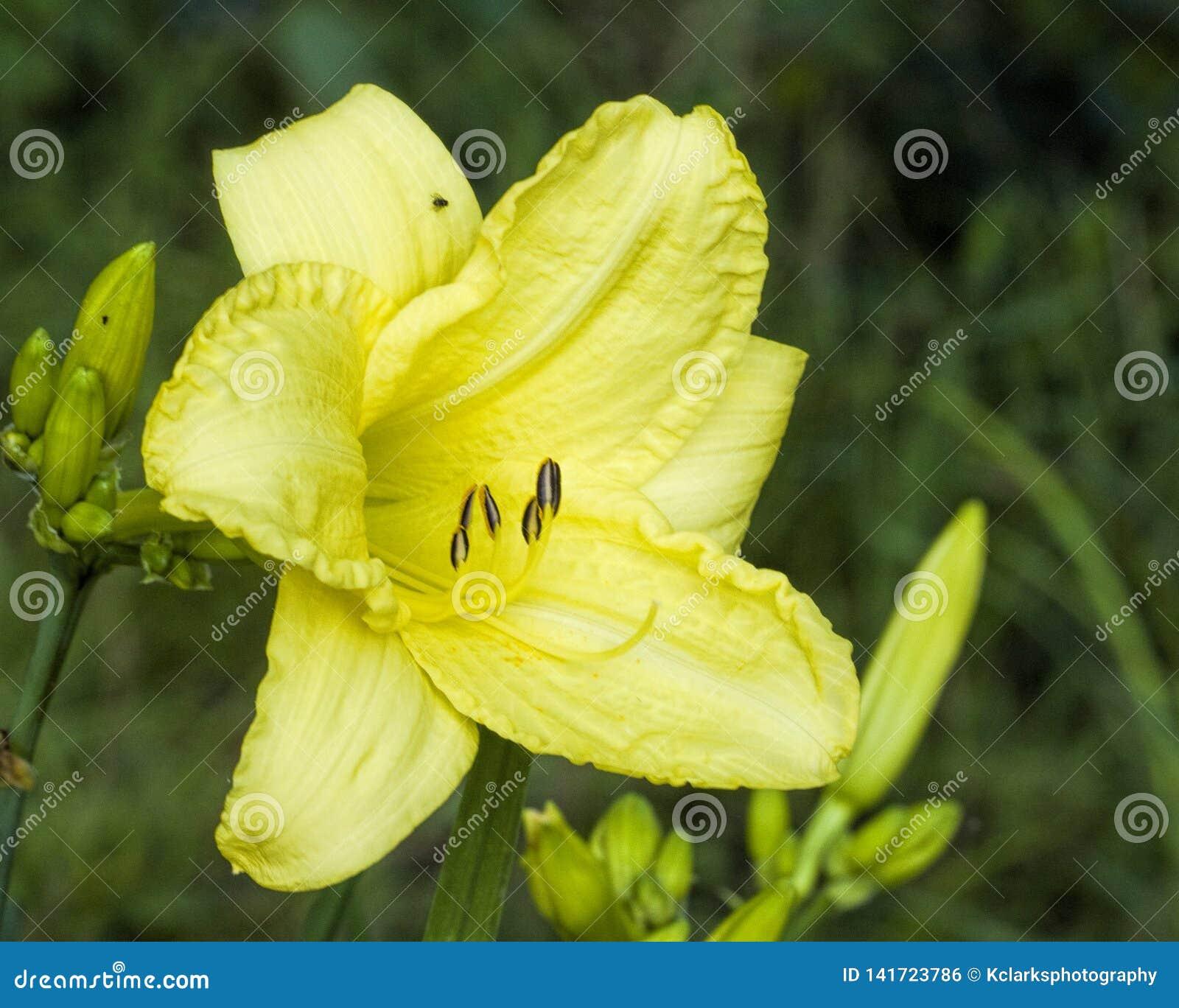 Daylily amarillo limón - Hemerocallis