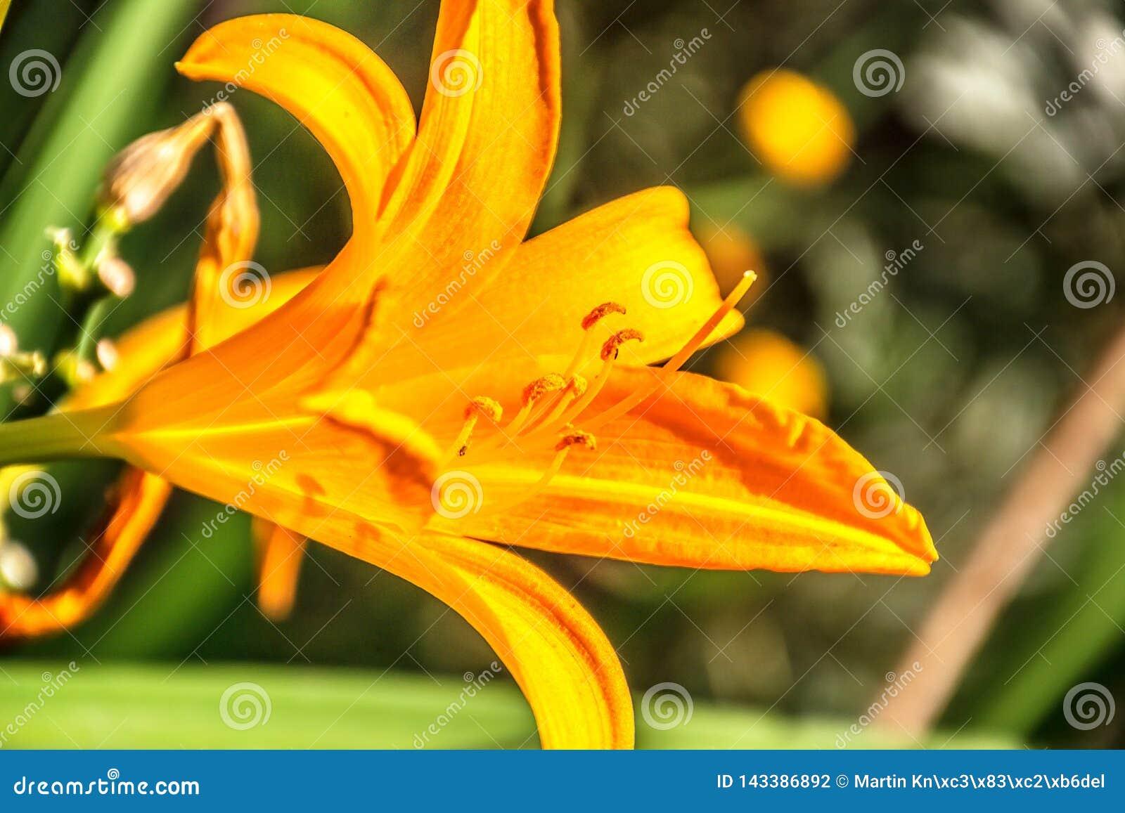 Daylily anaranjado en un jardín