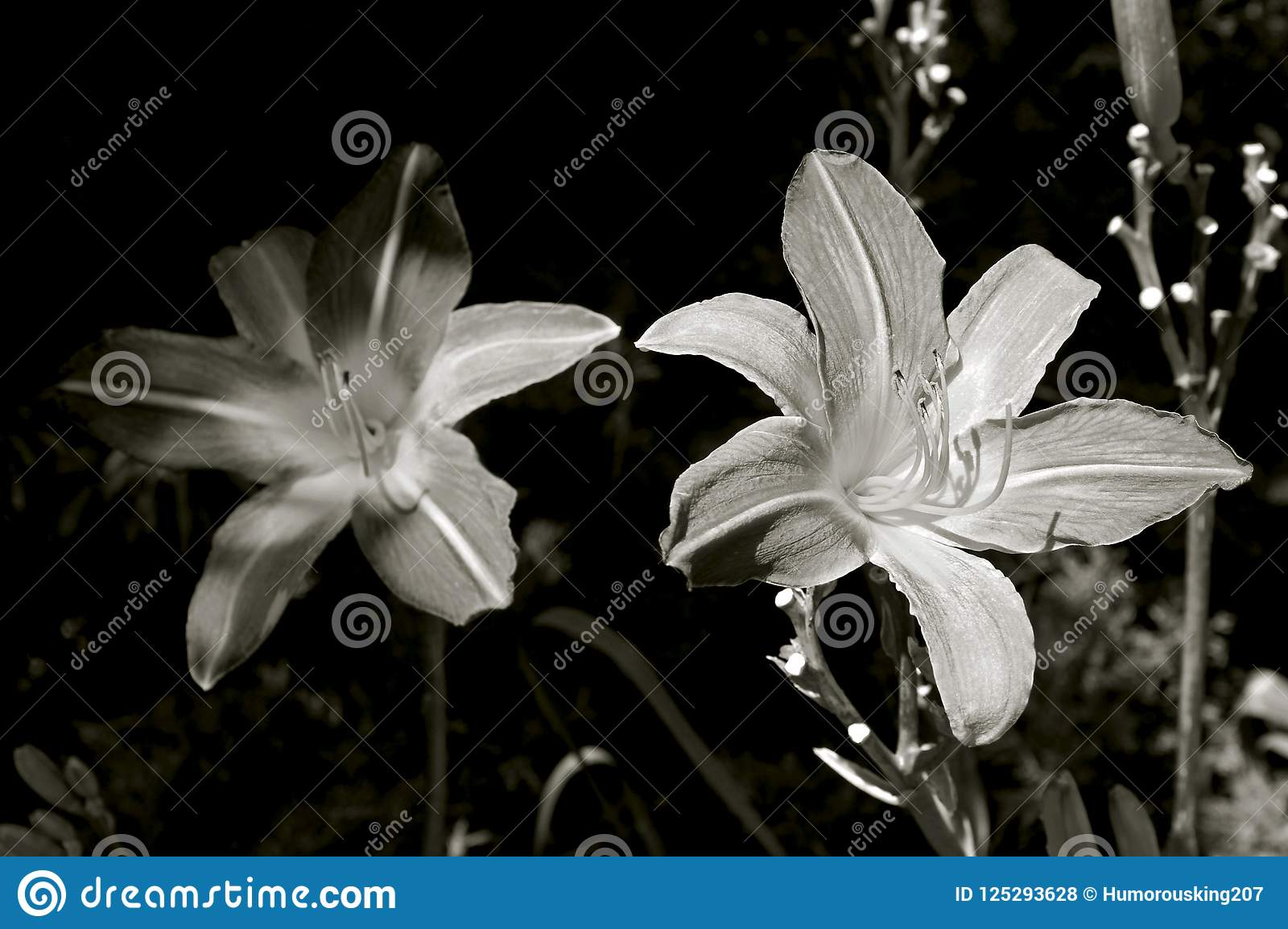 Daylily Flower In Black And White Stock Photo Image Of Color Last