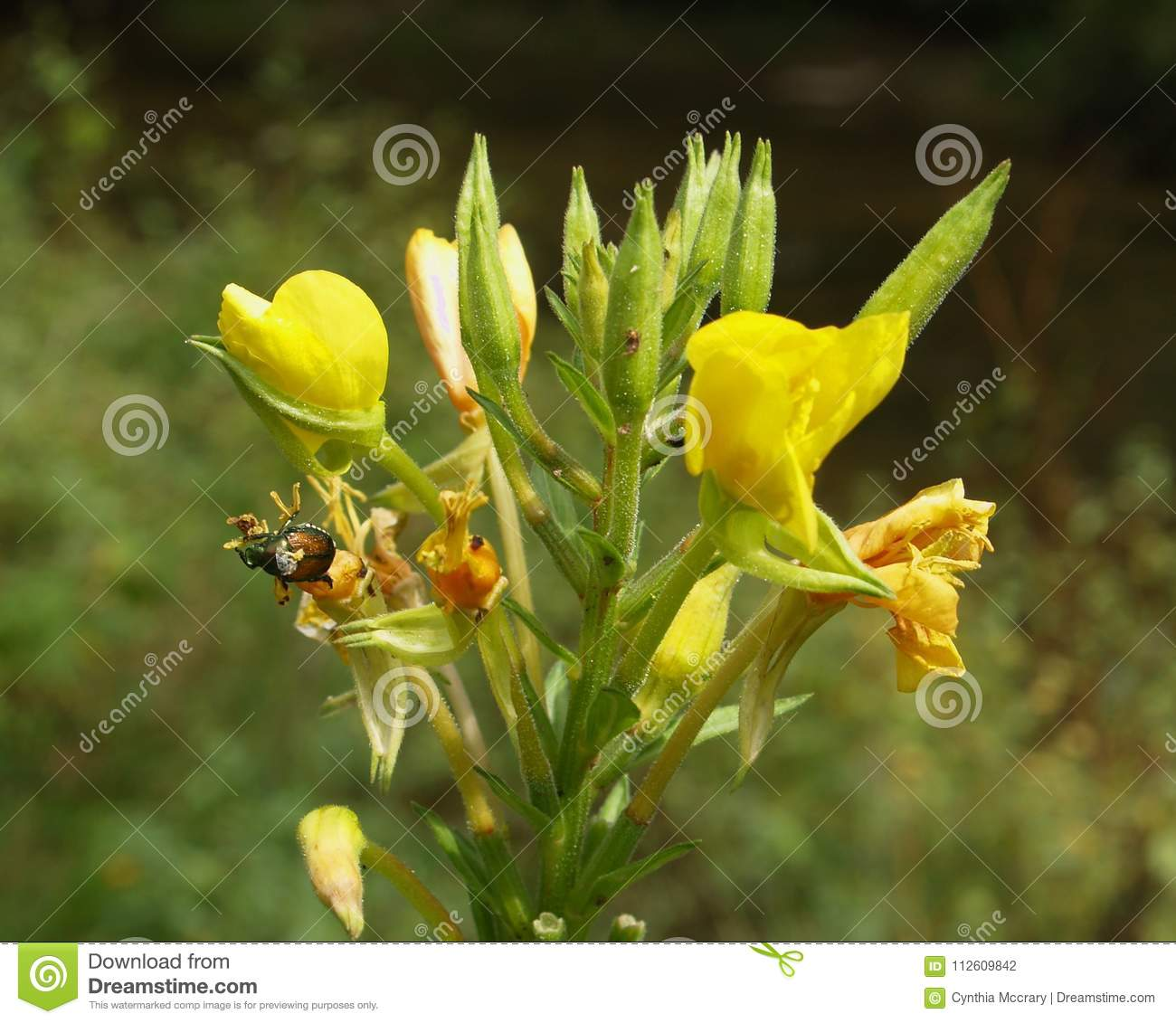 June Bug On Wild Yellow Daylilies Stock Photo Image Of Plant