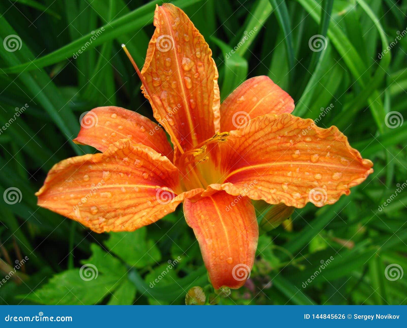 Daylily kwiat po podeszczowego lata