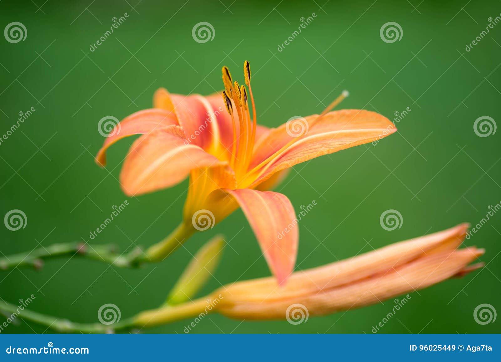 Daylily kwiatu selekcyjna ostrość makro-