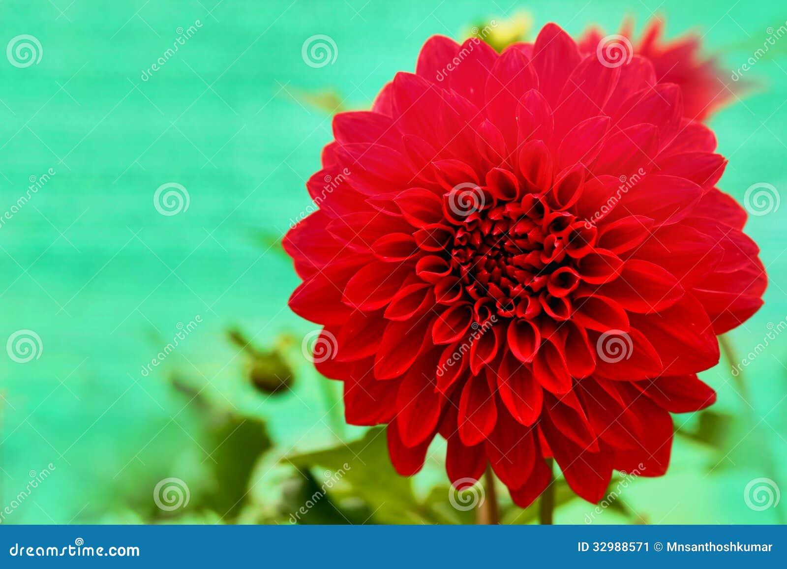 Dazzling red dahlia daisy flower with beautiful petals stock image dazzling red dahlia daisy flower with beautiful petals mightylinksfo