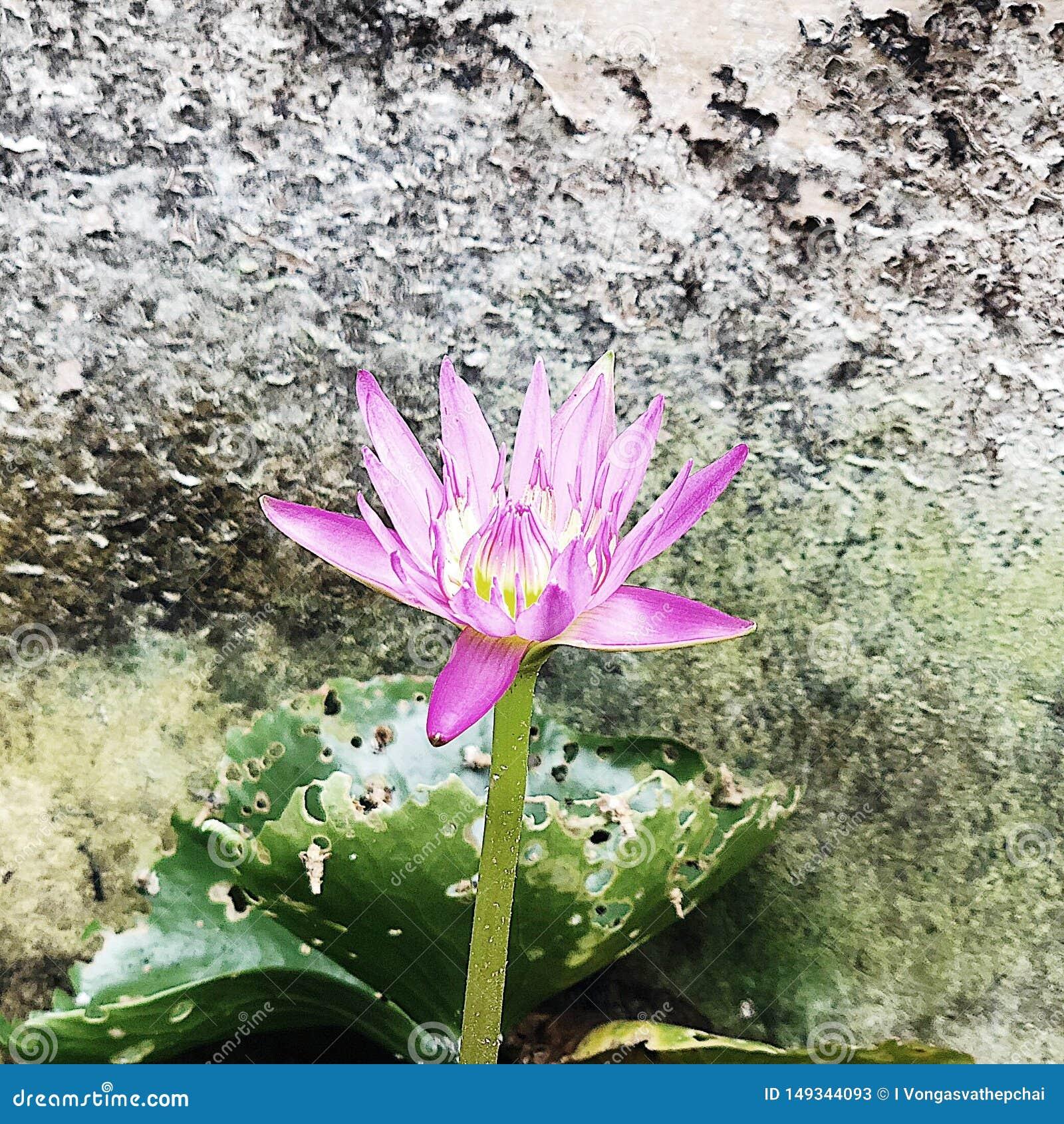 De ?alleen maar niet eenzame ?lotusbloem zei niet blijkbaar